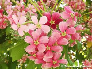 madhumalti flower combretum indicum third eye view