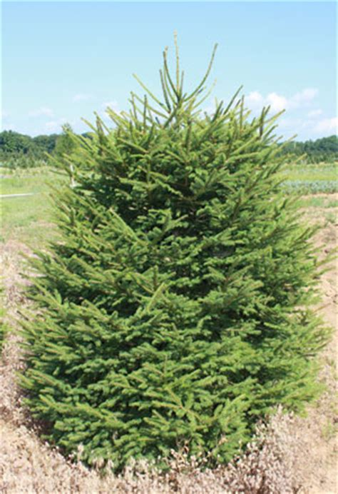 ge norway spruce 6 ft spruce