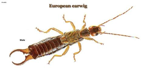 How can I tell the difference between an earwig and a ...