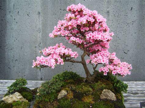 Pflanzen Im Japanischen Garten 827 by Die Besten 25 Bonsai Azalea Ideen Auf