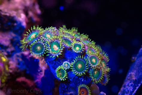 led lighting for zoanthids coral gallery under orphek reef aquarium led orphek