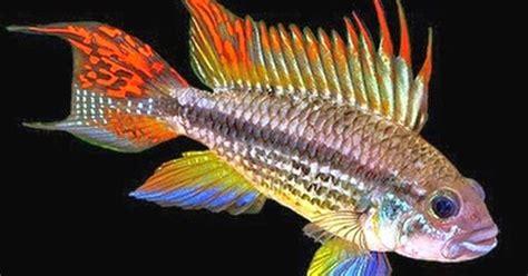 Ikan Apistogramma Indukan ikan cockatoo akuarium ikan hias