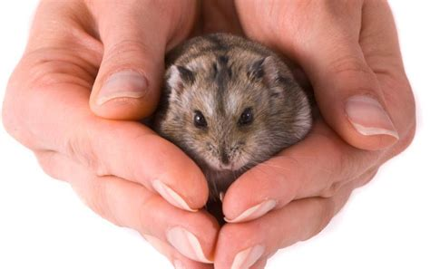 how can a live with pyometra how do hamsters live for