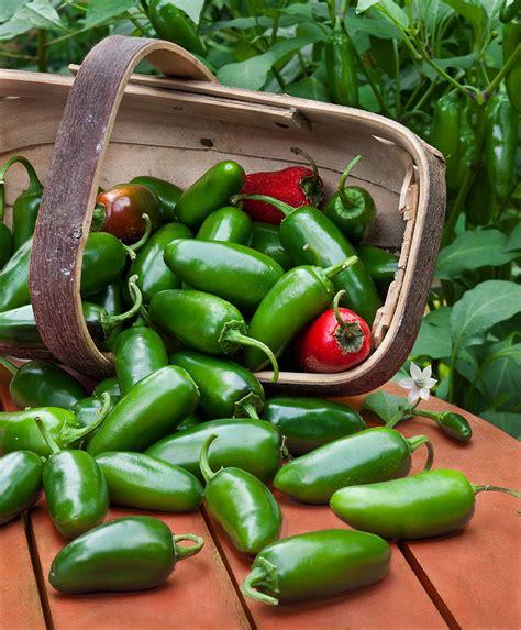 Garden Jalapenos Jalapeno Pepper Medium Heat High Yields