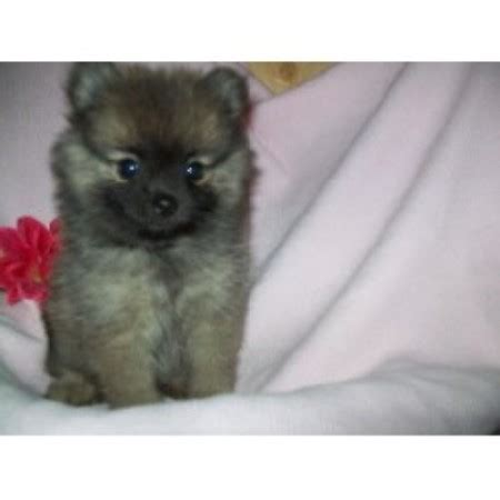 pomeranian puppies for sale in minnesota debs pom poms pomeranian breeder in boling