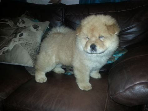 chow chow puppies for sale 12 week coated chow chow boy for sale gainsborough lincolnshire pets4homes