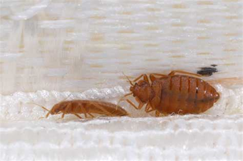 tell me about bed bugs insect identification mississippi state university