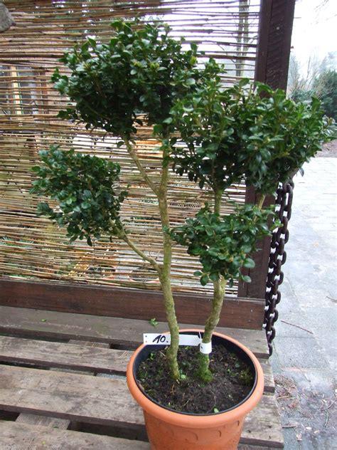 Buchsbaum In Form Schneiden 2025 by Pflanzen