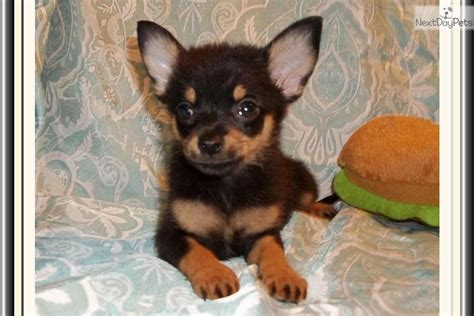 chipoo puppies chi poo chipoo puppy for sale near tallahassee florida e97e8f2f 37a1