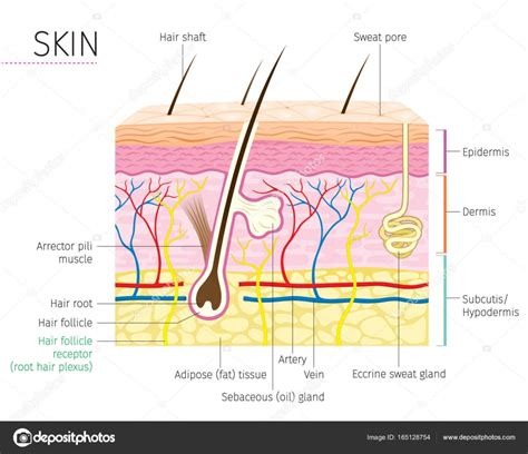 diagram of a skin human anatomy skin and hair diagram stock vector