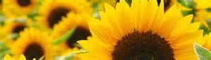 Wholesale Flowers Delivery - local sunflowers main wholesale florist