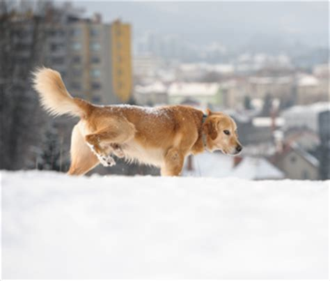 what to do if dog pees in house how to train your dog to go potty in the snow
