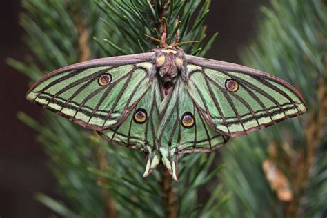 spanish moon moth by regis56 on deviantart
