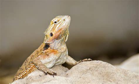 bearded dragon askmax countrymax