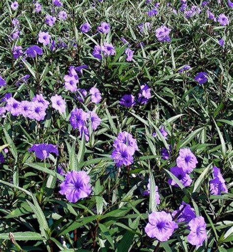 purple flowering shrubs in florida mexican petunia purple showers beautiful flowers