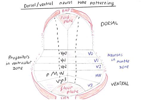 pattern formation of neural tube patterning of the neural tube the developing neural tube