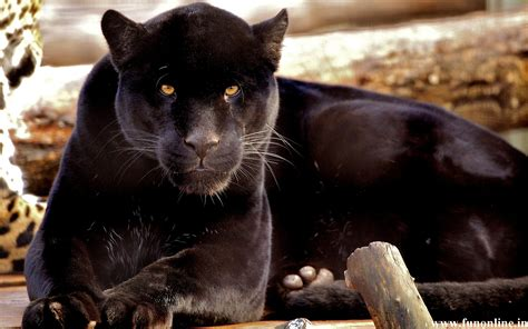 all black jaguar panther wallpapers download free black panthers hd