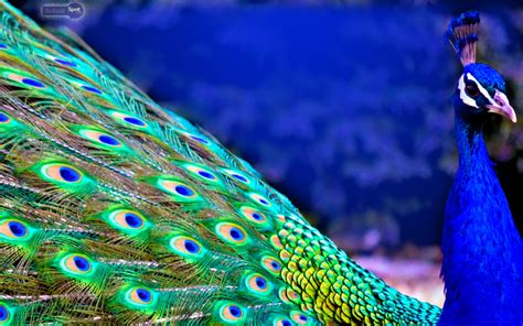 peacock wallpapers peacock wallpapers animal spot
