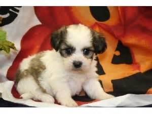 havanese puppies kansas city area havanese puppies for sale