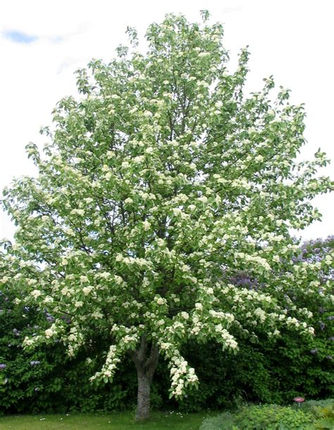 Home Accessories List by Sorbus Aria Lutescens Silver Whitebeam Leafland