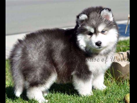 wooly husky puppies for sale house of wooly siberian husky puppies for sale