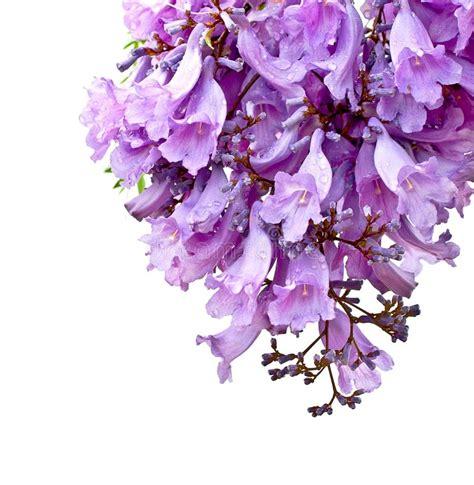 imagenes de flores jacaranda flores del jacaranda aisladas foto de archivo imagen de