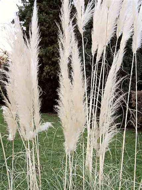 Garten Schilf by Common Reed Not Only In Kite Building Schilf Nicht Nur Im Drachenbau