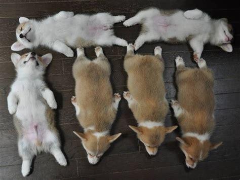corgi puppies sleeping corgi puppies sleeping in a arrangement