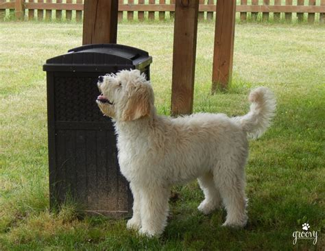 golden retriever coat growth the various coat types of the goldendoodle
