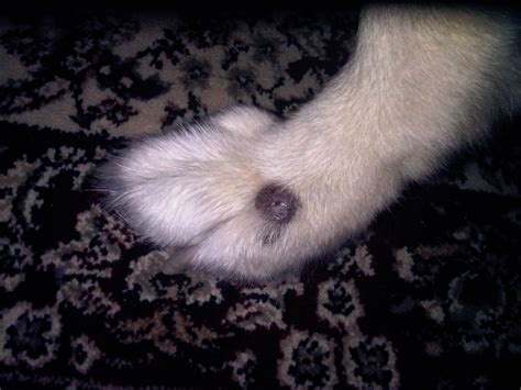 tumor on paw black growth on dogs paw breeds picture