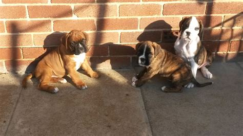puppies for sale ta boxer sale ireland boxer puppies buy buy boxer breeders boxer dogs breed boxer