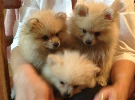 101 dogs pomeranian pomeranian 101 get all your pomeranian puppies info auto design tech