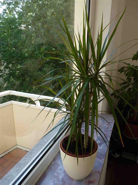 palme zimmerpflanze arten wolllausbefall auf palme pflanzenschutz probleme mit