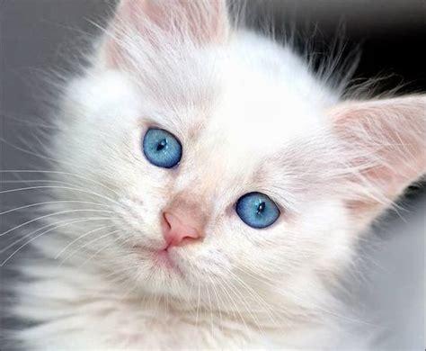 imagenes ojos blancos gatos on pinterest