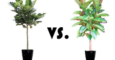 rubber fig inspired whims rubber tree trumps fiddle leaf fig