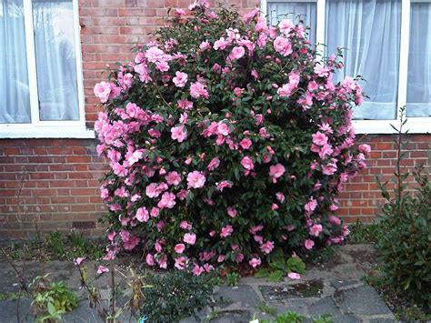 camellia flowering shrub 1000 images about shade loving plants on