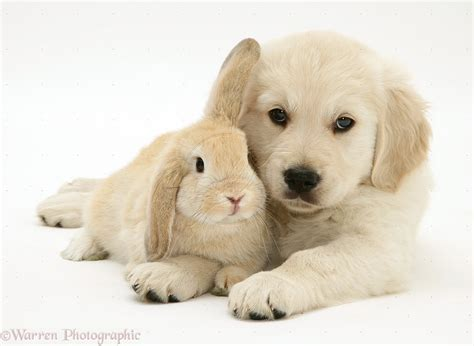 golden retriever org image 21720 golden retriever pup with lop rabbit white background jpg