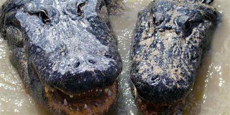 everglades airboat tours alligator farm everglades alligator farm sparen sie bis zu 55