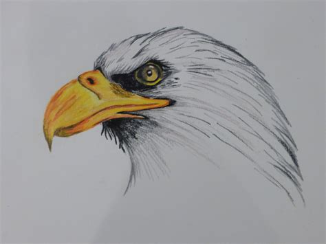eagles colors bald eagle colored pencil and in color bald