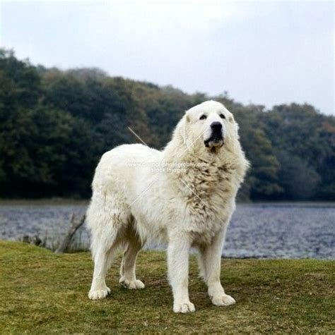 pyrenean mountain puppies pyrenean mountain dogs and puppies