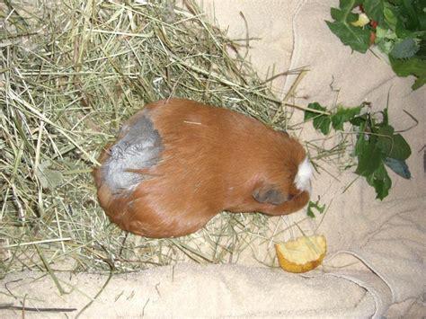 ab wann sieht den babybauch ab wann wieder zu den anderen meerschweinchen