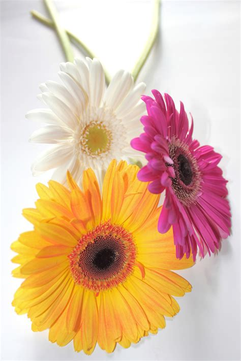 facts about daisy flowers interesting facts about gerbera daisies flower