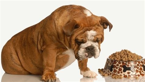 stomach ulcer in dogs stomach ulcers in dogs symptoms causes treatments dogtime