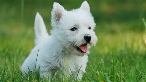 Do West Highland Terriers Shed by 15 Breeds That Don T Smell Barking Royalty