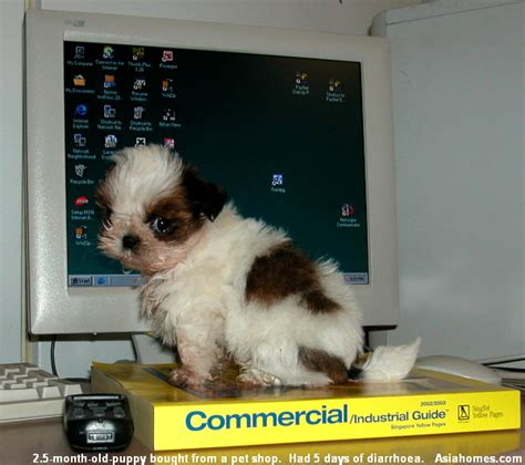 shih tzu vomiting blood 0819asingapore veterinary bloody diarrhoea puppy vomiting education stories published