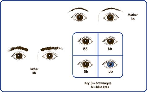 inheritance pattern of brown eyes september 2012 musings from the den mother