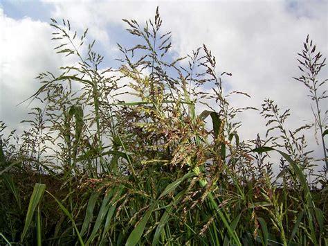 wann mais ernten hirse getreide zum selber ernten oder bestellen