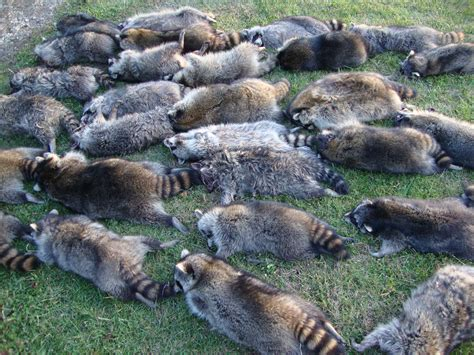 kills raccoon how to trap catch kill coyotes page 10