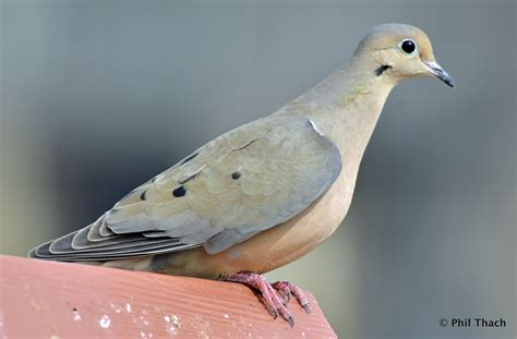 mourning dove 2 16 2012 phil thach