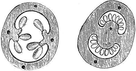 cross section of ovary cross section of ovary of flower of gooseberry and potato